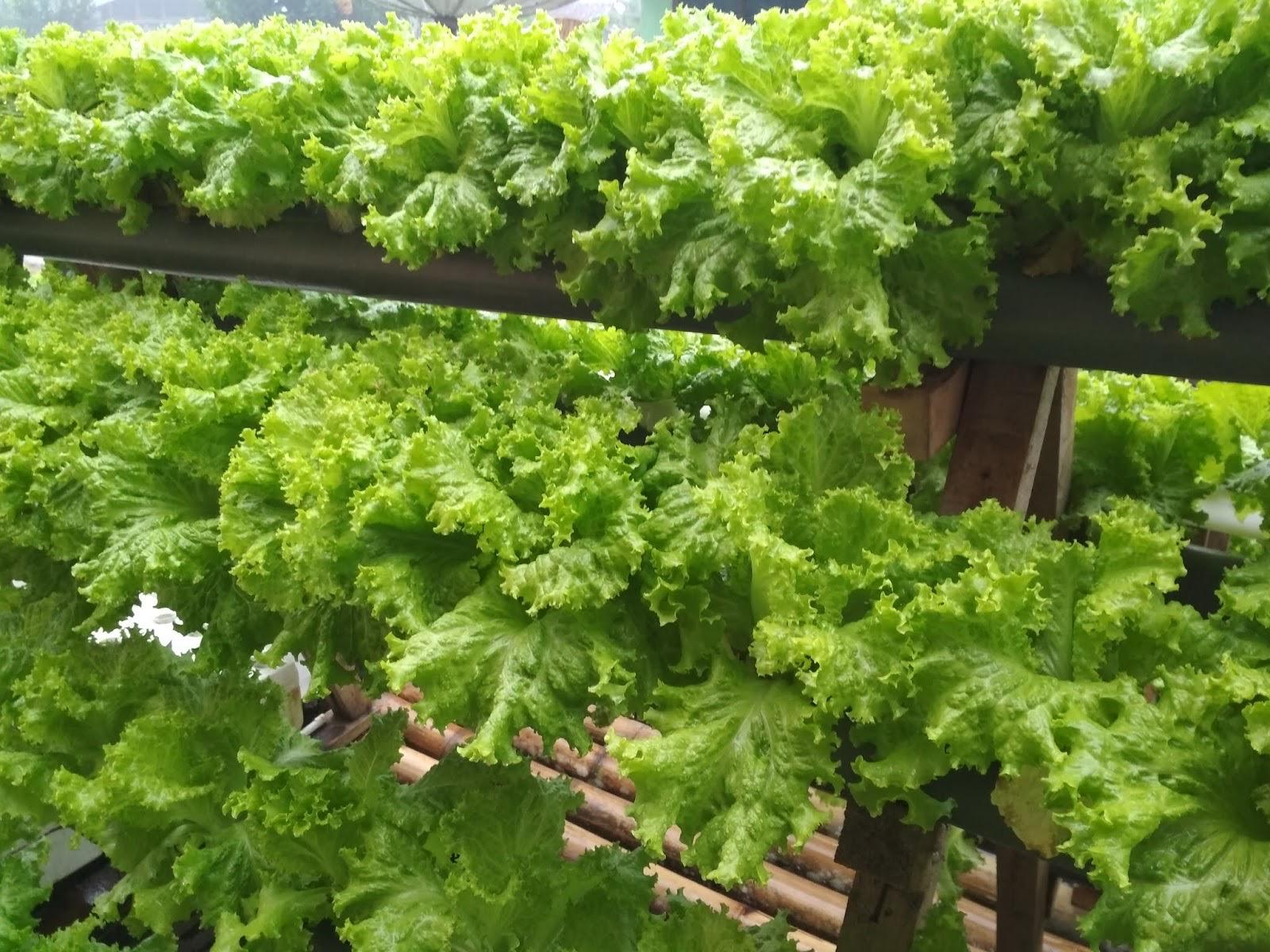 Selada hijau hidroponik